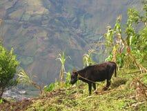 Het Weiden van de koe in Banos, Ecuador Stock Foto