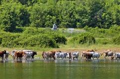 Het weiden van de koe bij meer Stock Foto