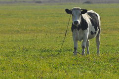 Het weiden van de koe in de weide Close-up De dieren van het landbouwbedrijf Royalty-vrije Stock Fotografie