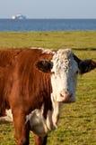 Het weiden van de koe in een landbouwgrond dichtbij water royalty-vrije stock afbeelding