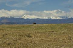 Het weiden van de koe op de voorwaaier van Rockies royalty-vrije stock afbeelding