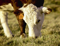 Het weiden van de koe op gebied royalty-vrije stock foto's