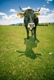 Het weiden van de koe op heuvel Stock Afbeeldingen