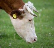 Het weiden van de koe op weide royalty-vrije stock afbeeldingen