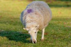 Het Weiden van de ooi met Purper teken op Rug stock foto