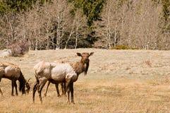 Het weiden van elanden Royalty-vrije Stock Foto
