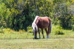 Het weiden van Enig Wild Spaans Mustang in Corolla, stock afbeeldingen