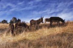 Het weiden van ezels Royalty-vrije Stock Afbeelding
