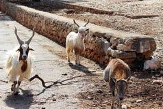 Het weiden van geiten Stock Foto's