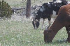 Het weiden van geiten Stock Afbeeldingen