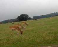 Het weiden van herten op kernachtig groen gras stock afbeeldingen