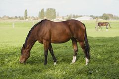 Het weiden van het paard Royalty-vrije Stock Afbeeldingen