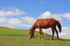 Het weiden van het paard Royalty-vrije Stock Foto