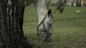 Het weiden van het paard stock videobeelden