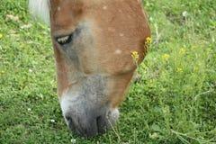 Het weiden van het paard Stock Fotografie