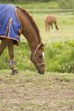 Het weiden van het paard Royalty-vrije Stock Afbeelding