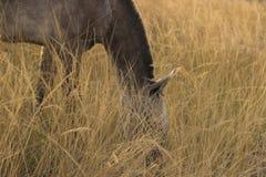 Het weiden van het paard Royalty-vrije Stock Fotografie