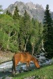 Het weiden van het paard in de bergen Royalty-vrije Stock Afbeeldingen