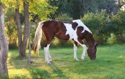 Het Weiden van het paard in het Plaatsen van Zon Stock Foto's