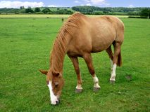 Het weiden van het paard op gebied Royalty-vrije Stock Afbeeldingen