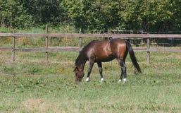 Het weiden van het paard op gebied Stock Afbeelding