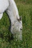 Het weiden van het paard op groen weiland stock foto