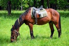 Het weiden van het paard op het gazon Stock Foto
