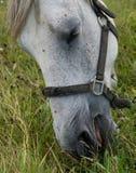 Het weiden van het paard op het gebied Stock Afbeelding