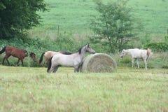 Het weiden van het paard in platteland royalty-vrije stock afbeelding