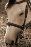 Het weiden van het paard in sepia Royalty-vrije Stock Foto