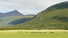Het weiden van het vee stock videobeelden