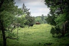 Het weiden van het vee Royalty-vrije Stock Fotografie