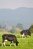 Het weiden van het vee in Brits platteland royalty-vrije stock foto