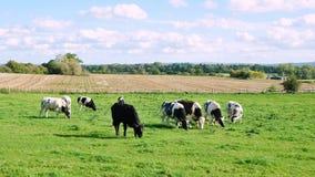 Het Weiden van het vee op Landbouwgrond royalty-vrije stock afbeeldingen