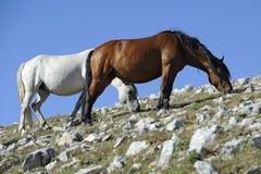Het weiden van het wild paard Stock Foto