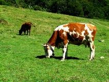 Het weiden van koeien Stock Foto