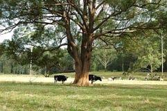 Het Weiden van koeien Stock Afbeeldingen