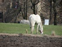 Het weiden van landelijk wit paard dichtbij het middeleeuwse kasteel royalty-vrije stock foto's