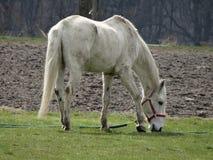 Het weiden van landelijk wit paard naast een landbouwgrond Stock Foto's