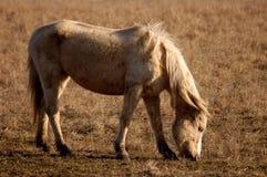 Het weiden van Paard Royalty-vrije Stock Afbeeldingen