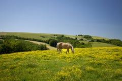 Het weiden van paard stock foto