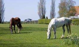 Het weiden van paarden Stock Afbeelding