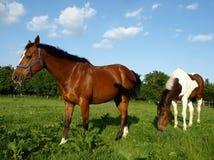 Het Weiden van paarden Royalty-vrije Stock Afbeeldingen