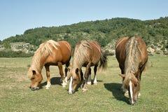 Het weiden van paarden Stock Foto's