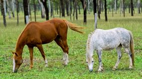 Paarden het weiden royalty-vrije stock foto's