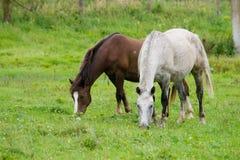 Het weiden van paarden Stock Afbeeldingen