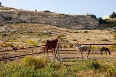 Het weiden van paarden Stock Fotografie