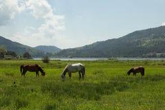 Het weiden van paarden Royalty-vrije Stock Fotografie