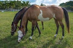 Het weiden van paarden Stock Foto