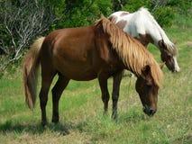Het weiden van poneys Royalty-vrije Stock Afbeeldingen
